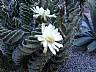 Flores de cactus en Chilecito